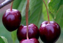 cherry_tree_-_stella