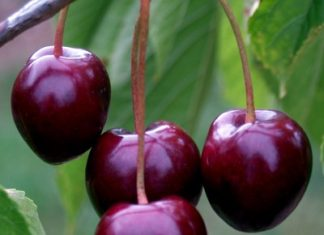 cherry_tree_-_stella